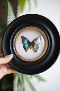 Cadre Sorcière papillon Doxocopa lavinia