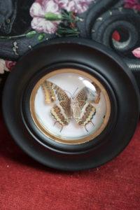Cadre Sorcière à papillon - Charaxes jasius
